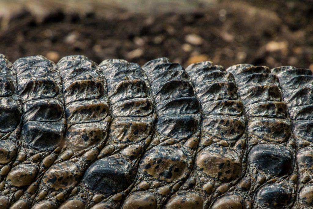 crocodile-2254108_1920